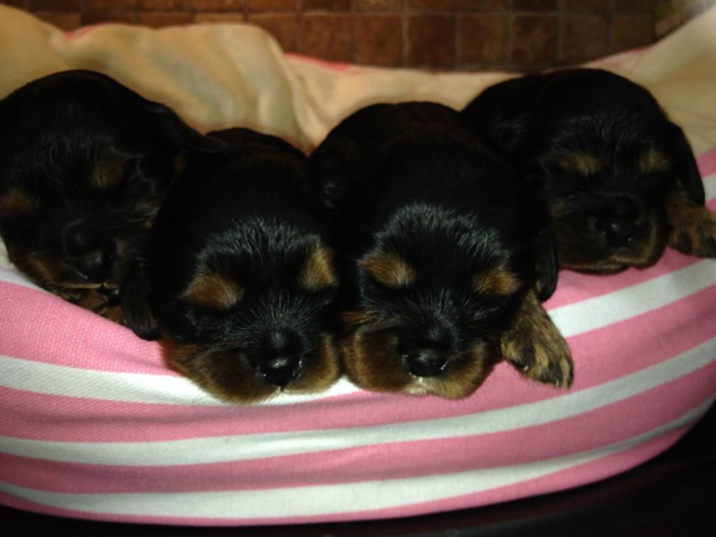 Alle fire på stribe da de var 2 uger gamle d. 16 august.