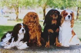 Lånt på nettet, men her ses alle 4 farver.. Tricolore, Ruby, Black and tan og Blenheim